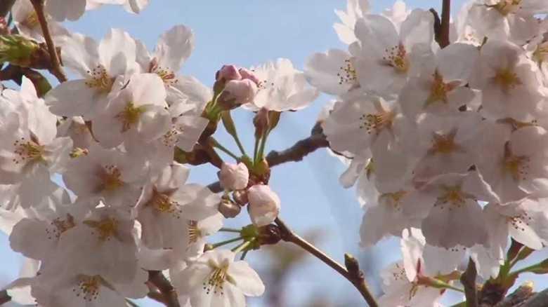 「萌え断サンド」「オープンいなり」…進化する花見弁当