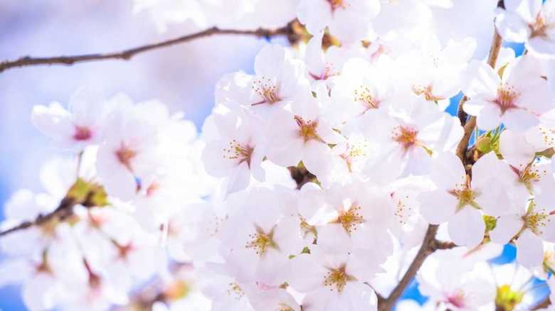 春の風物詩?「ソメイヨシノは韓国起源説」を検証する