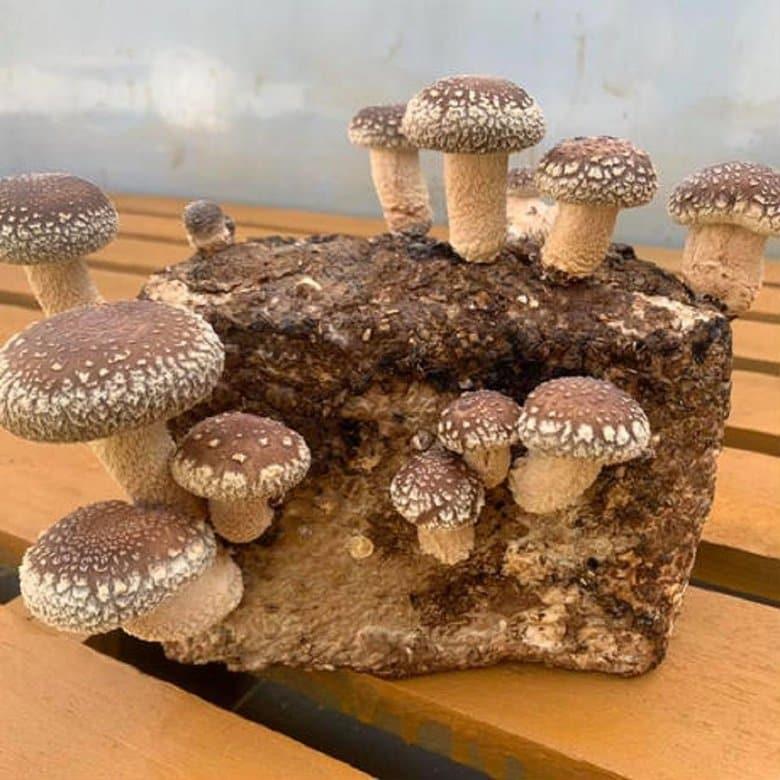 """外出自粛で自宅でできる「しいたけ栽培」が人気…意外と簡単? """"菌床""""での育て方を聞いた"""