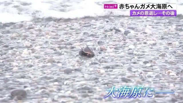 """""""カメの恩返し""""かつて保護したウミガメが戻ってきた…そして産卵 生まれた赤ちゃんは【高知発】"""