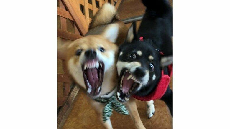 歯がむき出しだけど意気投合!? 初対面の柴犬2匹の表情が息ピッタリ…状況を飼い主に聞いた