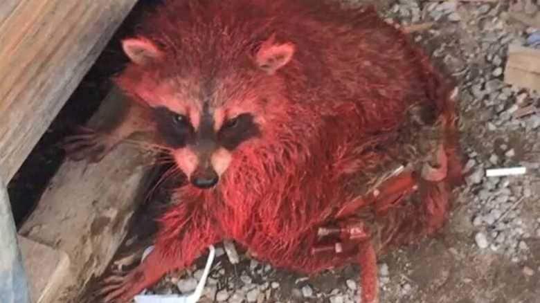 野生のアライグマが真っ赤に なぜこうなった