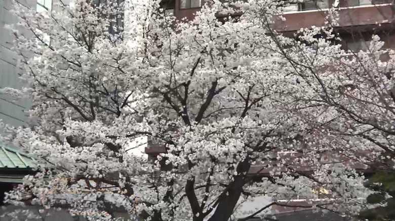 東京で早すぎる!?桜「満開」発表…有名花見スポットの様子は…