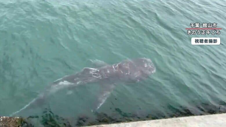 幻の巨大サメ「メガマウス」なぜ館山に 陸から発見は「奇跡」さかなクンも「ギョ」
