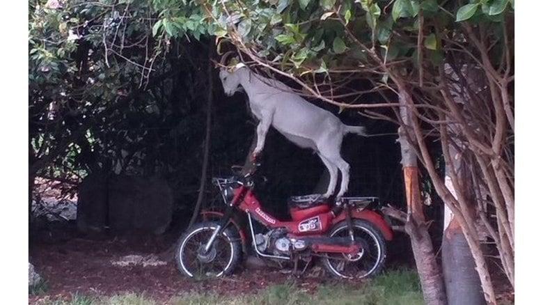 """バイクに立ち乗りする""""ワイルドなヤギ""""が話題…一体何をしている?飼い主に聞いた"""