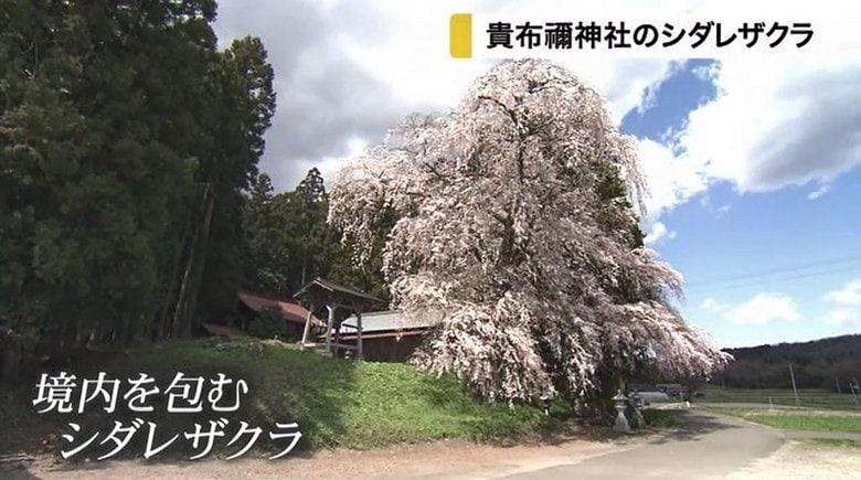 貴布禰神社の境内を飾るシダレザクラが咲き誇る【宮城発】
