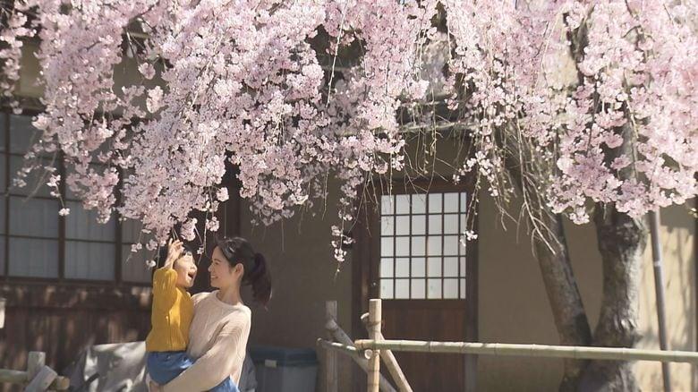樹齢100年を超え、「奈良の一番桜」として親しまれる枝垂桜