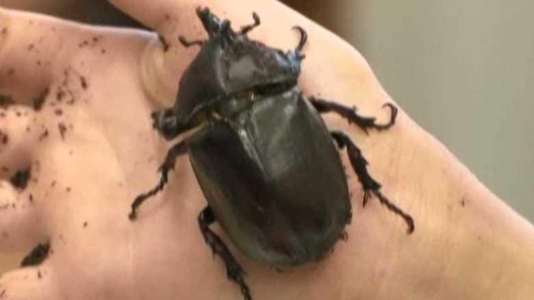 """""""左はオス 右はメス""""のカブトムシ発見!「雌雄型」は他の昆虫もいた"""