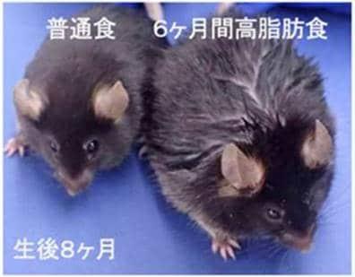 脂っこい食生活がやっぱり「薄毛」の要因になる!? マウス実験で解明されたメカニズムを研究者に聞いた