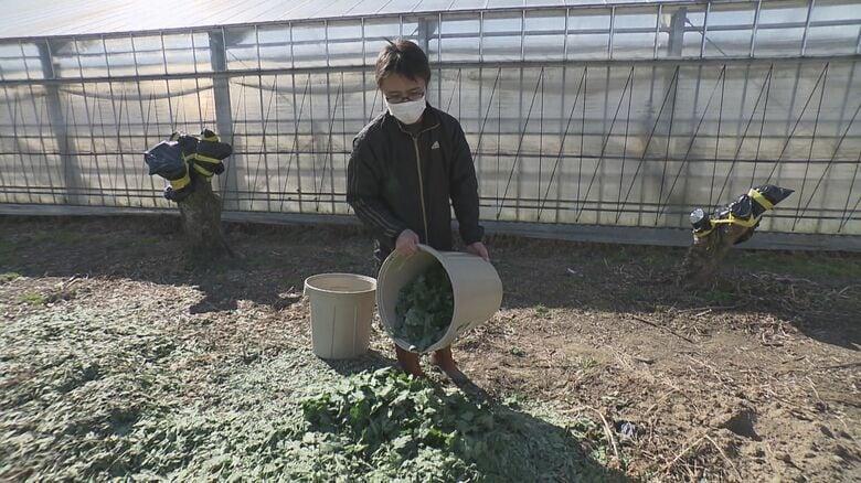 出荷調整という名の廃棄…会席料理など彩る「菊の葉」宴会需要減り生産農家に危機「1年位捨て続けてます」