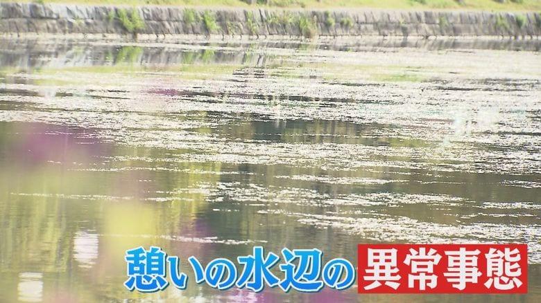 福岡市民の憩いの場「大濠公園」に水草異常繁殖…池の水草にも新型コロナの影響か
