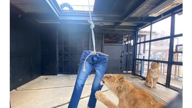 「ライオンがひっかいたダメージジーンズ」が返礼品!? 札幌の動物園のクラウドファンディングが攻めてる