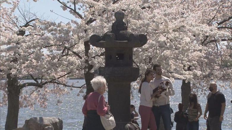 【解説】ワシントンDCの桜は韓国産?杜撰な取材で拡散する嘘