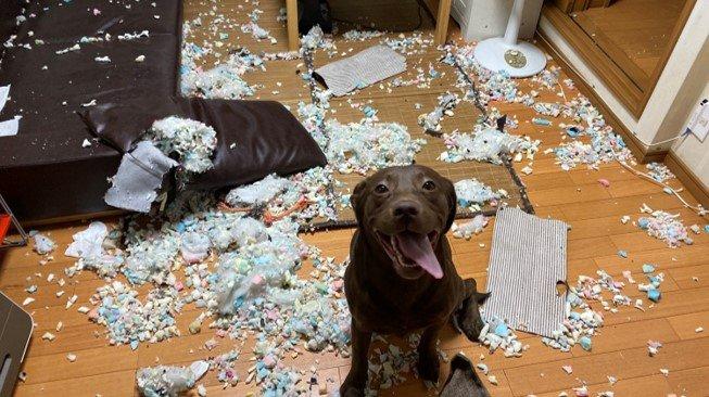 """""""はじめてのお留守番""""でドヤ顔の犬と惨状の部屋…どう躾けたらいい?専門家に聞いた"""