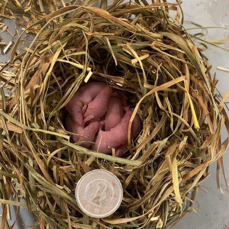 """""""世界初""""か…捕獲し飼育している「ヒメトガリネズミ」13匹出産確認 すくすく成長中 札幌市円山動物園"""