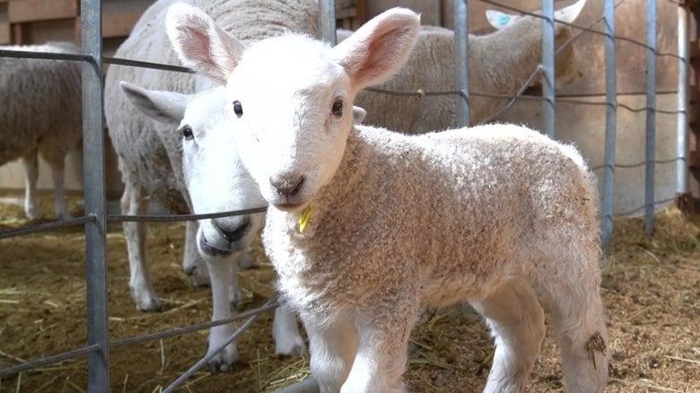 """この時期""""春の5K""""に要注意…赤ちゃん羊も子牛も「かわいい気温差対策中」"""