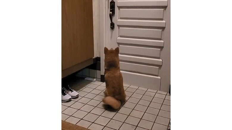 お父さんの帰りを毎日玄関で待つ柴犬がかわいい! どう察知するのか飼い主に聞いた