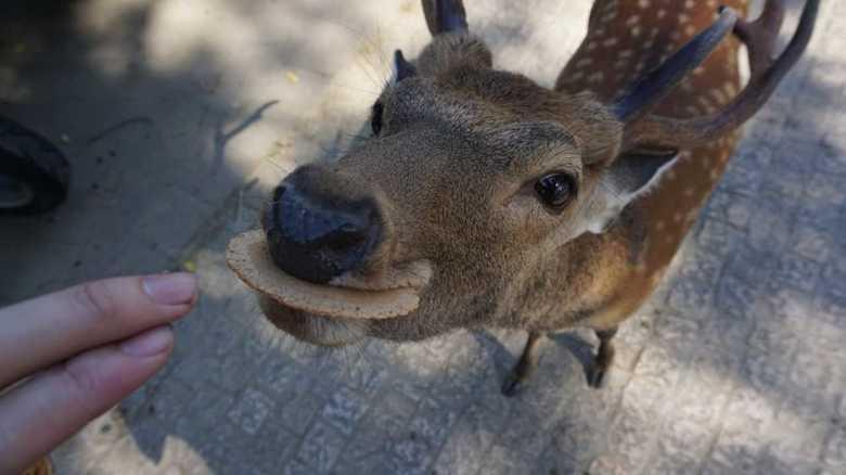 奈良公園のシカによるけが人が過去最悪...未然に防げる「シカサイン」のやり方を聞いた