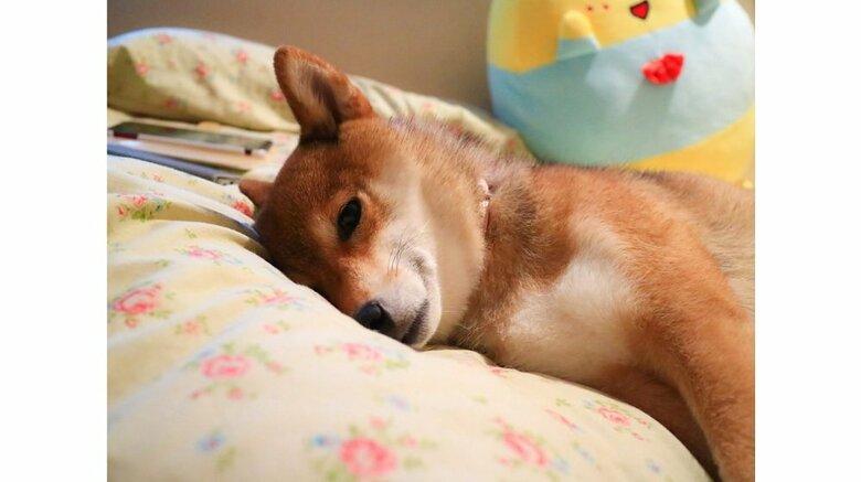 """薄目でチラチラ? """"寝たふり""""で散歩を回避しようとする柴犬が賢い…そんなに散歩が嫌いなのか飼い主に聞いた"""