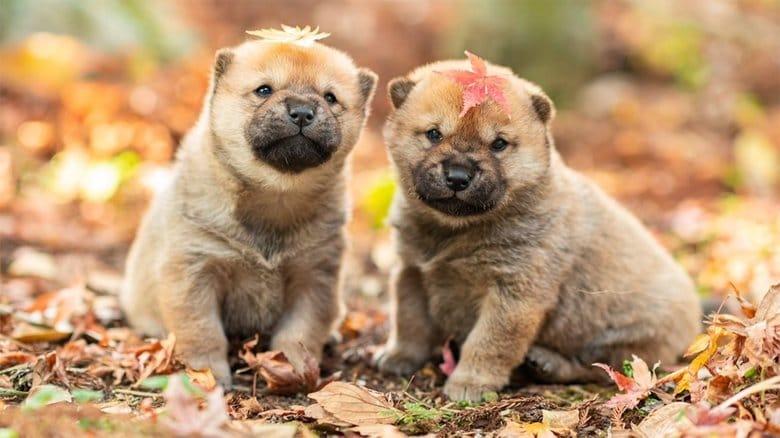 「かわいすぎる」SNSで話題の希少犬種「山陰柴犬」  一時は絶滅の危機に…繁殖活動に力注ぐ