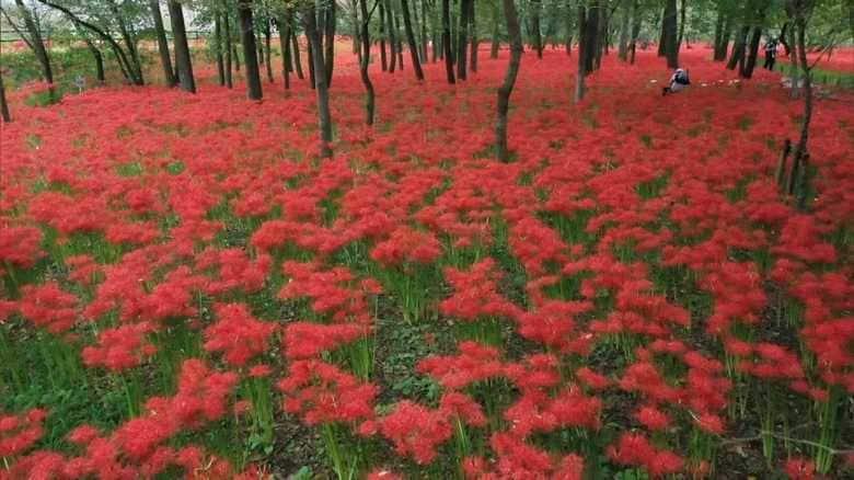 約500万本が彩る「赤いじゅうたん」…曼珠沙華がまだ見頃です