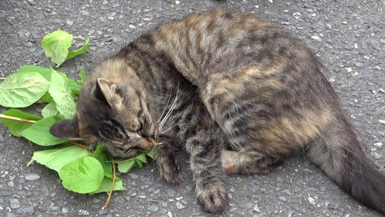 """ネコがマタタビ好きなのは「蚊よけ」のためだった?""""長年の謎""""を解明した教授にその理由を聞いた"""
