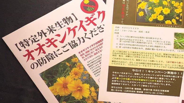 きれいな花…実は生息してはいけない特定外来生物 地道に「オオキンケイギク」の駆除活動【佐賀発】