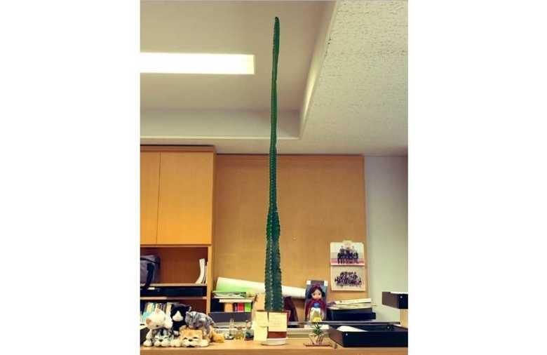 「成長スピードがおかしい」…巨大化したサボテンが天井に達したらどうなる?専門家に聞いた