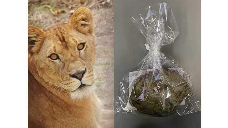 """ライオンが遊んだ石にラクダの毛…盛岡市動物公園のGW""""じゃんけん大会""""の賞品がそそる!"""