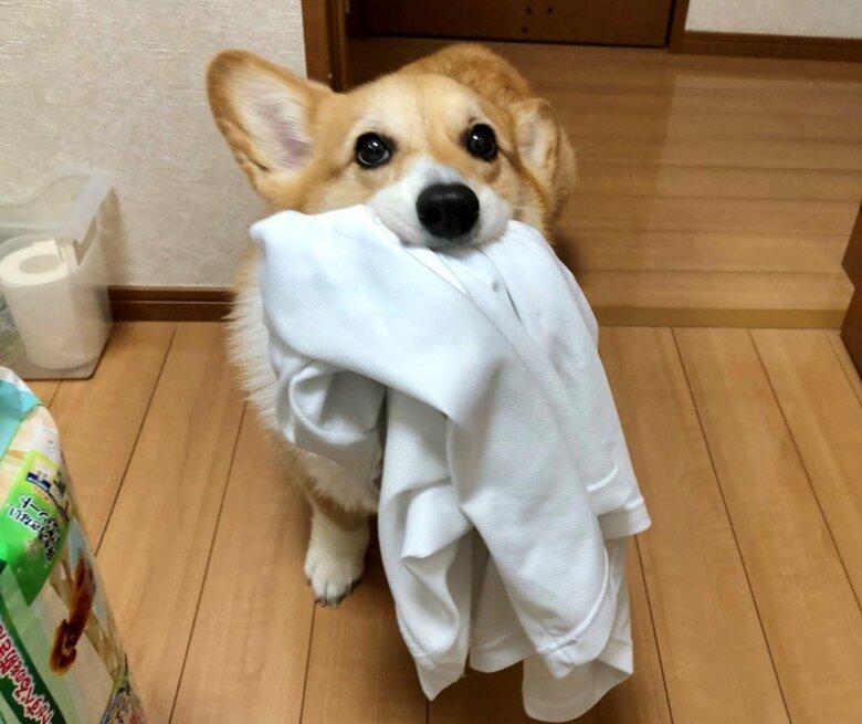 「お洗濯するから持ってきてー」お父さんのシャツを届ける犬が賢い…献身的な運びっぷりには理由があった