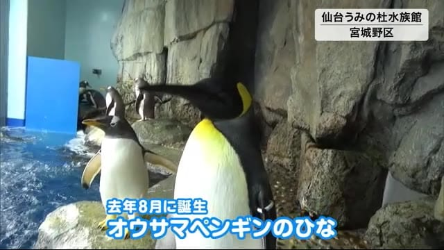 オウサマペンギンのひな…愛称は!? 仙台うみの杜水族館