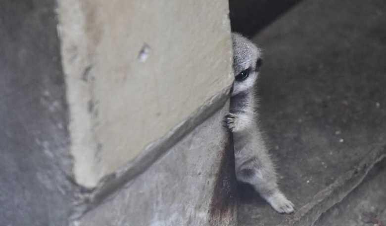 """珍しい""""つかまり立ち""""の姿…柱に隠れる照れ屋なミーアキャットの赤ちゃんが可愛すぎる!"""