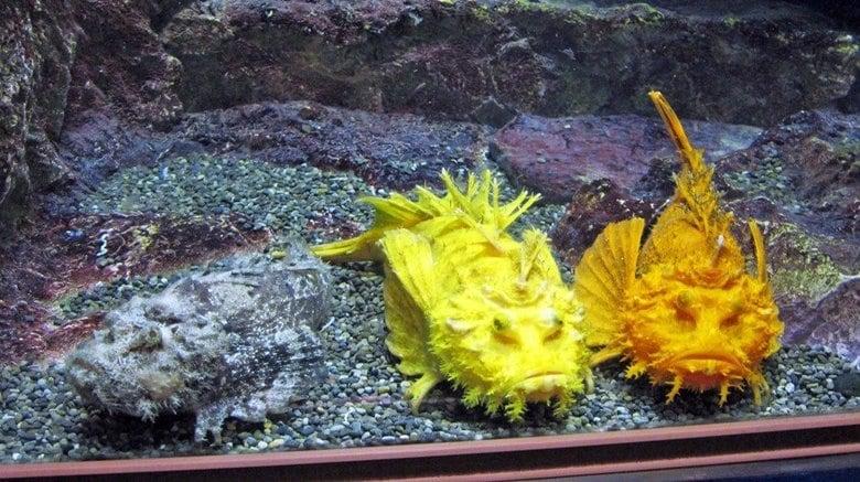 """「金・銀・銅」3匹のオニオコゼが""""メダル色""""で揃い踏み…なぜこんな色なのか水族館に聞いた"""