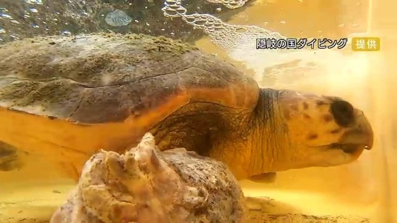 網に絡まり、足は壊死…瀕死のウミガメを保護 おなかにはプラごみやライターの部品【島根発】