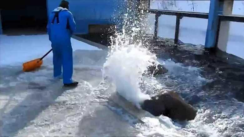 """セイウチが豪快に""""雪かき""""のお手伝い!? 意図的にやっているのか、おたる水族館に聞いてみた"""