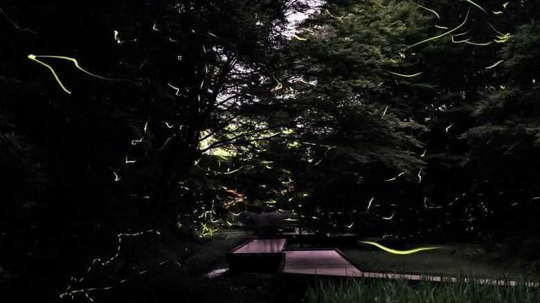 Early Summer Fireflies in Chiba's Starry Skies (Video)