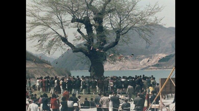 昭和36年当時「不可能」…ダムに沈む樹齢500年の桜を後世へ 湖を見下ろすように咲く「荘川桜」と人々