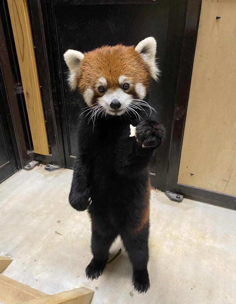 「一緒にたべる?」仕草がまるで人間のようなレッサーパンダがかわいい…状況を動物園に聞いた