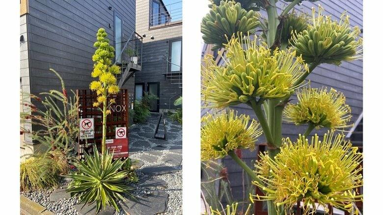 100年に1度しか咲かない「アガベ」が自宅の庭で開花!? どれだけ珍しいのか植物園に聞いた