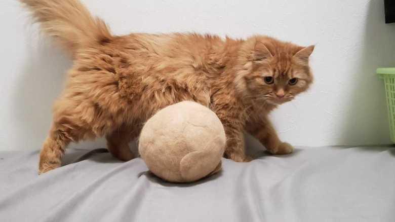 """ニャンだこれ!? 誕生日を記念して""""飼い猫の毛""""をボールに…反応はどうだった?"""