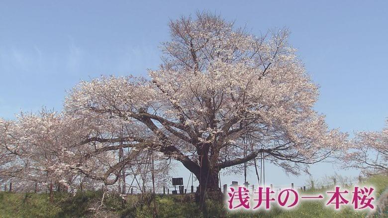 樹齢110年の一本桜…水面に映る「逆さ桜」もまた優美【福岡発】