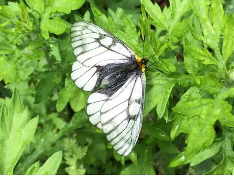 """送電線の下は""""蝶の楽園""""…なぜ蝶が集まるのか?農工大の研究者に着目した理由も聞いた"""