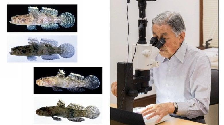 「小さい頃から葉山の海で魚をいじっていましたから」ハゼ研究第一人者の上皇さま 新たな新種発見までの道のり