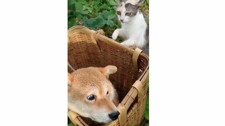 """「恐くて振り返れない」背後から近づく猫に""""怯える表情""""の柴犬がかわいい…状況を飼い主に聞いた"""