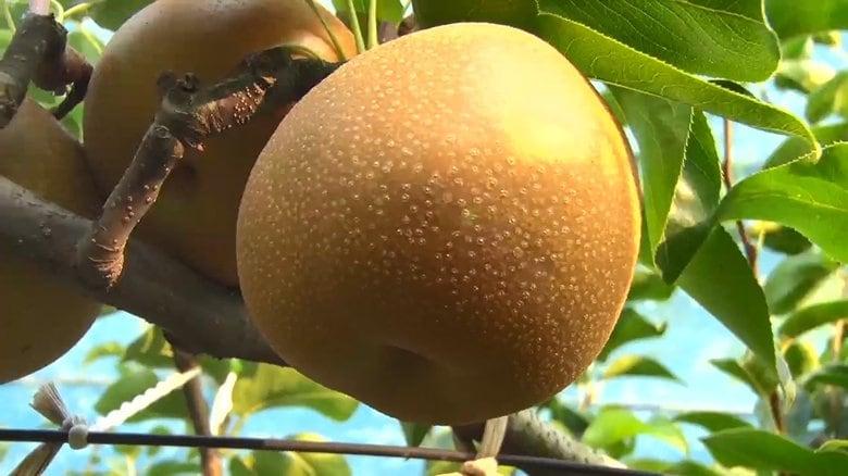 梨・ブドウ・ジャガイモは高騰 栗はお買い得に…秋の味覚に長雨と猛暑の影響