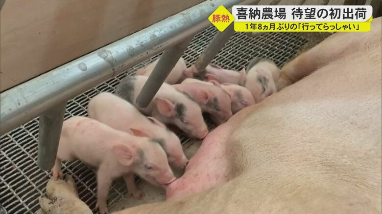 """豚熱の殺処分を乗り越え、1年8か月ぶりの""""行ってらっしゃい""""…農場再建に向けて着実な一歩【沖縄発】"""