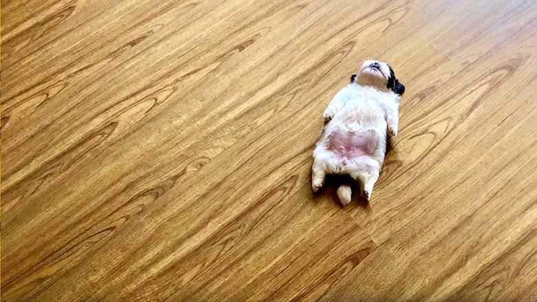 """お腹まる見えで足がピーン! """"仰向け""""で寝る無防備な子犬が可愛いすぎる"""