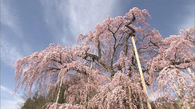 """樹齢1000年超!""""日本三大桜""""のひとつ「三春滝桜」 圧倒的な美しさを動画で…【福島発】"""