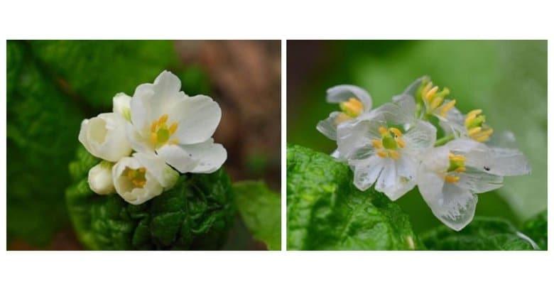濡れると透明になる花「サンカヨウ」が神秘的…なぜ白から変化? 2つの植物園に聞いた