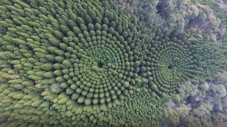 """宮崎の森林に「ミステリーサークル」が出現…""""想定外""""の自然の力が働いていた"""